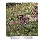 Herd Of Bighorn Sheep Shower Curtain