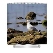 Herring Gull At Charmouth Shower Curtain