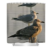Herring Gull  Shower Curtain