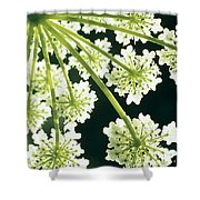 Himalayan Hogweed Cowparsnip Shower Curtain