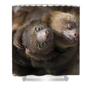 Hoffmanns Two-toed Sloth Orphans Hugging Shower Curtain by Suzi Eszterhas