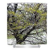 Honey Locust Tree On A Spring Snow Day Shower Curtain