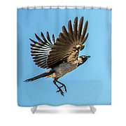 Hooded Crow In Flight Shower Curtain