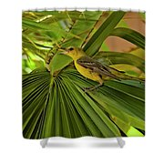 Hooded Oriole H01 Shower Curtain