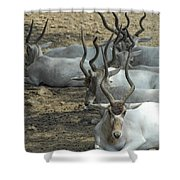 Horney Shower Curtain