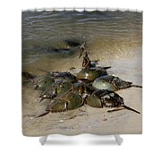 Horseshoe Crabs Shower Curtain