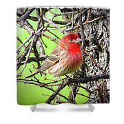 House Finch - 3 Shower Curtain