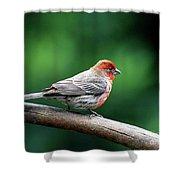 House Finch . 40d7227 Shower Curtain