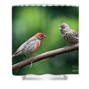 House Finch Courtship Shower Curtain
