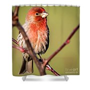 House Finch In Full Color Shower Curtain