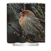 House Finch On A Rainy Day Shower Curtain
