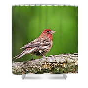House Finch Perched Shower Curtain