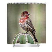 House Finch Perched On Cactus  Shower Curtain