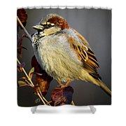 House Sparrow 1 Shower Curtain