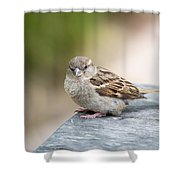 House Sparrow Shower Curtain by Scott Lyons