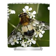 Hoverfly Leucozona Lucorum Shower Curtain
