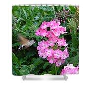 Hummingbird Moth On Pink Verbena Shower Curtain