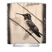 Hummingbird With Old-fashioned Frame 3 Shower Curtain