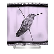 Hummingbird With Old-fashioned Frame 4 Shower Curtain
