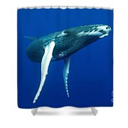 Humpback Whale Calf Shower Curtain