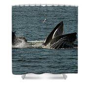Humpback Whales Megaptera Novaeangliae Shower Curtain