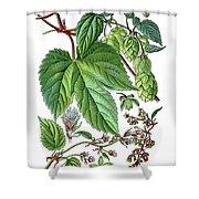 Humulus Lupulus, Common Hop Or Hop Shower Curtain