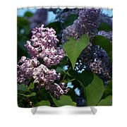 Hungarian Lilac 6 Shower Curtain