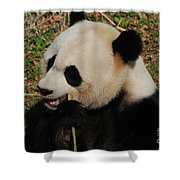 Hungry Chinese Giant Panda Bear Eating Bamboo Shower Curtain