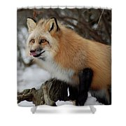 Hungry Fox Shower Curtain