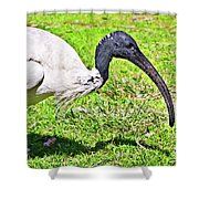 Ibis Looking For Food Shower Curtain