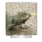Iguana Eating Lettuce With His Tongue Sticking Out Shower Curtain