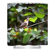 Img_0534-001 - Mourning Dove Shower Curtain