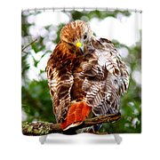 Img_1050-002 - Red-tailed Hawk Shower Curtain