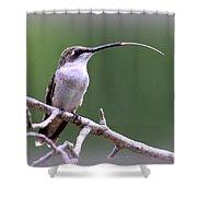 Img_1768-001 - Ruby-throated Hummingbird Shower Curtain