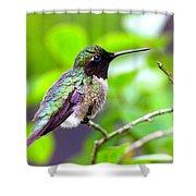 Img_3524-002 - Ruby-throated Hummingbird Shower Curtain