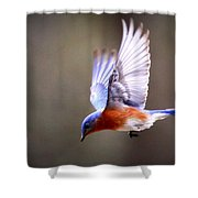 Img_4139-003 - Eastern Bluebird Shower Curtain