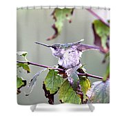 Img_9114-003 - Ruby-throated Hummingbird Shower Curtain
