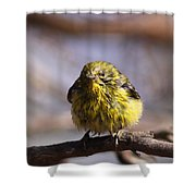 Img_9853 - Pine Warbler -  Very Wet Shower Curtain