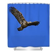 Immature Bald Eagle Fly By Shower Curtain