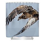 Immature Bald Eagle Leaving A Perch Shower Curtain