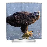 Immature Eagle Having Lunch Shower Curtain
