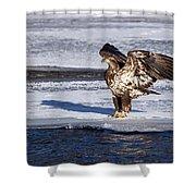 Immature Eagle On Ice Shower Curtain