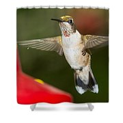 Immature Male Ruby-throated Hummer Shower Curtain