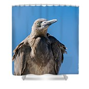 Immature Reddish Egret Shower Curtain