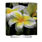 In Love With Butterflies Plumeria Flower Cecil B Day Butterfly Center Art Shower Curtain