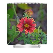 Indian Blanket Flower Shower Curtain