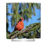 Inquisitive Male Cardinal Shower Curtain