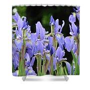 Iris Flowers Art Print Blue Purple Irises Spring Rain Shower Curtain