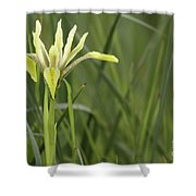 Iris Palaestina Shower Curtain