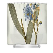 Iris Pallida Shower Curtain by Pierre Joseph Redoute
